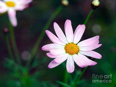 Photograph - Light Pink Daisy by Haleh Mahbod