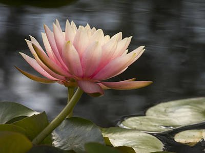 Photograph - Light Pink Water Lily by Jean Noren