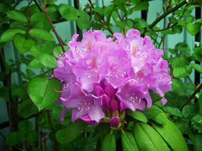 Photograph - Light Purple Rhododendron by Aimee L Maher Photography and Art Visit ALMGallerydotcom