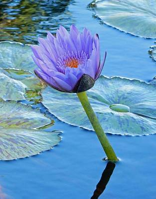 Light Purple Water Lily Art Print by Pamela Walton