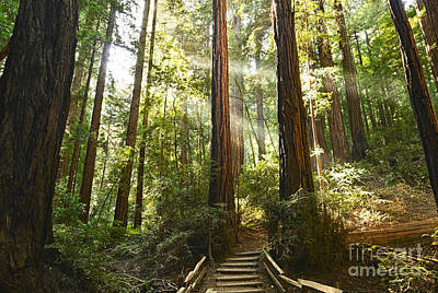 Photograph - Light The Way - Redwood Forest Of Muir Woods National Monument With Sun Beam. by Jamie Pham
