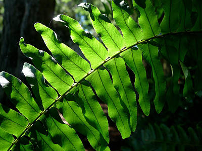 Photograph - Lighted Leaf by Richard Reeve