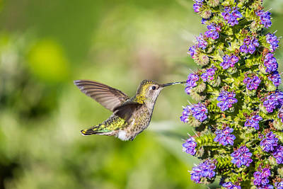 Photograph - Lightning Fast Hummingbird In Flight by Pierre Leclerc Photography