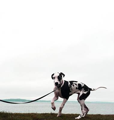 Harlequin Great Dane Photograph - Like A Puppy On A String by Richard Lawrence