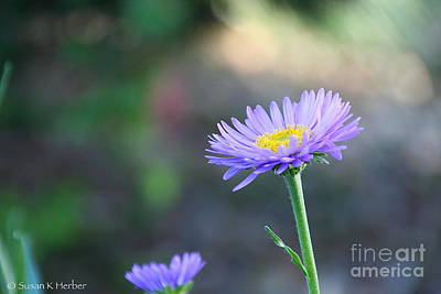 Photograph - Lil Aster  by Susan Herber