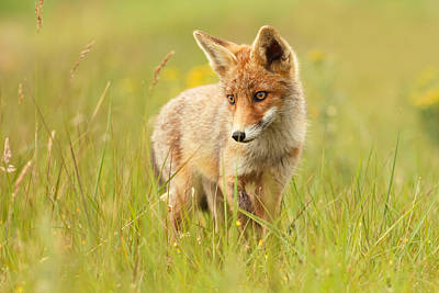 Lil' Hunter - Red Fox Cub Art Print by Roeselien Raimond