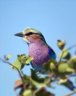 Photograph - Lilac-breasted Roller II by Gigi Ebert