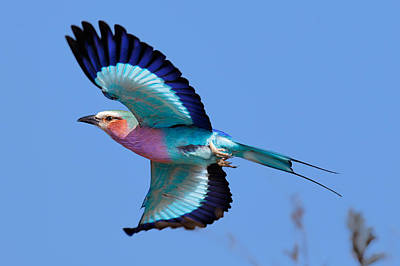 Side View Photograph - Lilac-breasted Roller In Flight by Johan Swanepoel