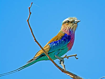 Lilac-breasted Roller In Kruger National Park-south Africa Original by Ruth Hager