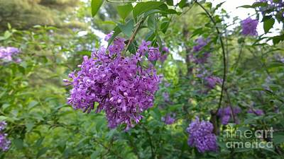 Photograph - Lilac Bush  by Eunice Miller