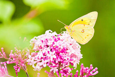 Photograph - Cloudless Sulphur Butterfly by Ben Graham