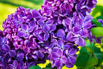 Photograph - Lilac Euphoria  by Bill Pevlor