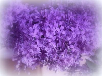 Photograph - Lilac Fantasy by Kay Novy