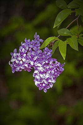 Photograph - Lilac Flower Blossoms by Randall Nyhof