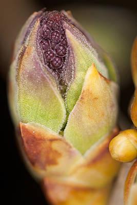 Photograph - Lilac Flower Bud by Bernard Lynch