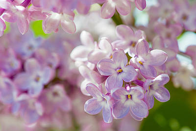 Curated Beach Towels - Lilac Flowers 3 by Alexander Senin