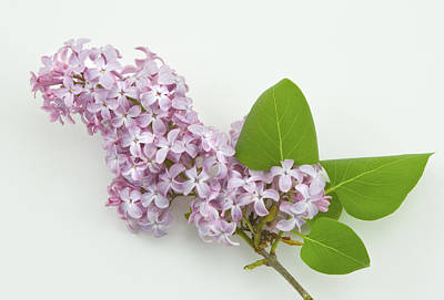 Photograph - Lilac Flowers - White Background by Keith Webber Jr