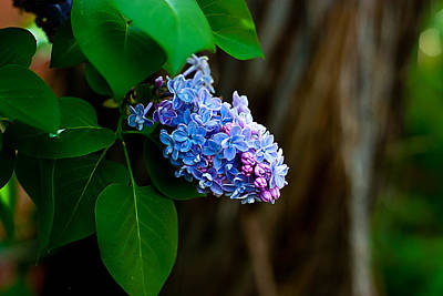 Lilac Art Print by John Crowe