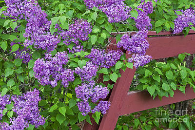 Photograph - Lilac Profusion by Alan L Graham