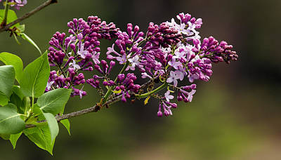 Photograph - Lilac Shrub 1 by David Lester