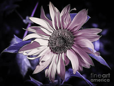 Photograph - Lilac Sunflower by Michael Canning