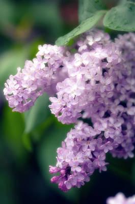 Lilac (syringa Hybrid) Art Print by Maria Mosolova/science Photo Library