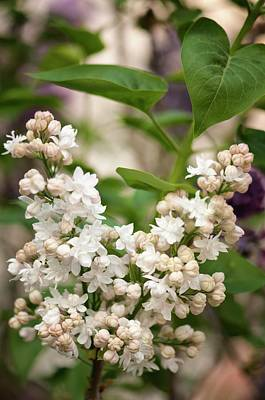 Lilac (syringa Vulgaris 'beauty Of Moscow') In Flower Art Print by Maria Mosolova/science Photo Library