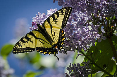 Lilac Tiger Art Print