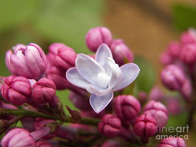 Photograph - Lilac Unfolds by Judy Via-Wolff