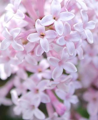 Photograph - Lilac Whisper by Diane Alexander