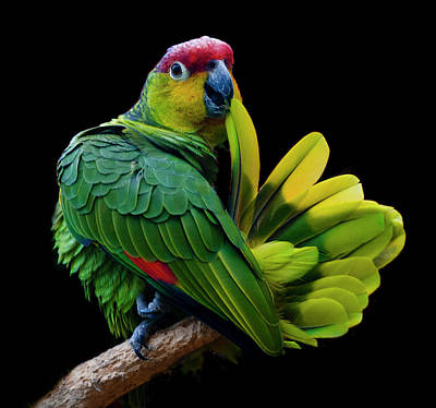 Branch Photograph - Lilacine Amazon Parrot Isolated On by Photo By Steve Wilson