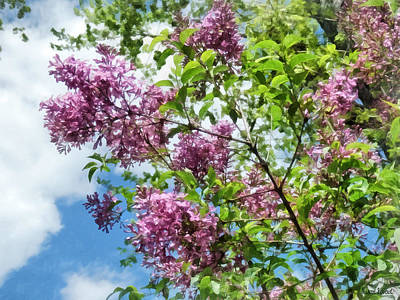 Photograph - Lilacs And Clouds by Susan Savad