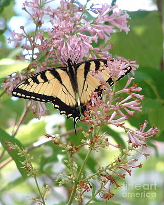 Photograph - Lilacs And Tiger Swallowtail Butterfly by Marilyn Smith