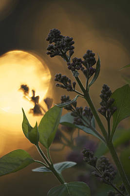 Lilacs At Sunset Art Print