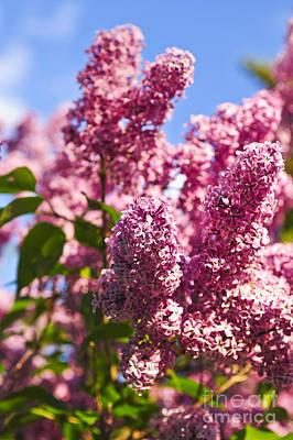 Lilacs Print by Elena Elisseeva
