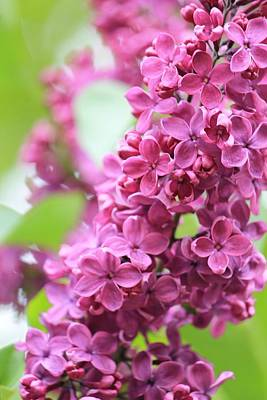 Photograph - Lilacs In Full Bloom by Michael Saunders