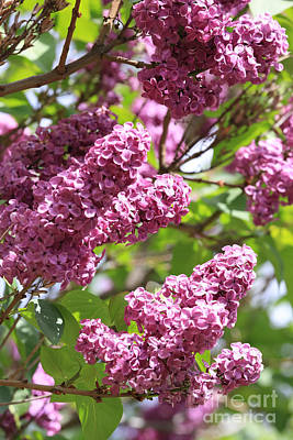 Lilacs And Flowers Photograph - Lilacs On The Farm by Carol Groenen
