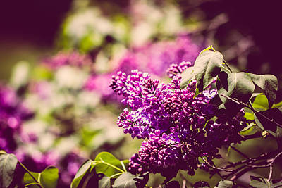 Photograph - Lilacs by Sara Frank