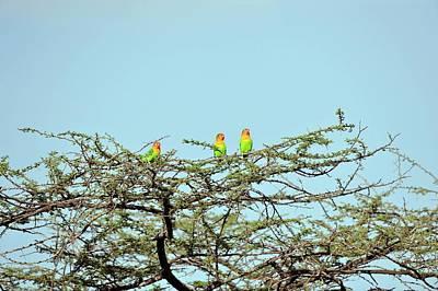 Lilian's Lovebirds In A Tree Art Print
