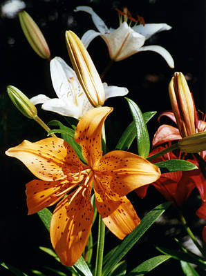 Photograph - Lilies Assorted Colors by Robert Lozen