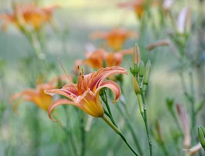 Peach Lilly Photograph - Lilies Of The Field by Maria Urso
