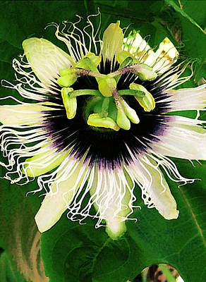 Passion Fruit Photograph - Lilikoi Flower by James Temple