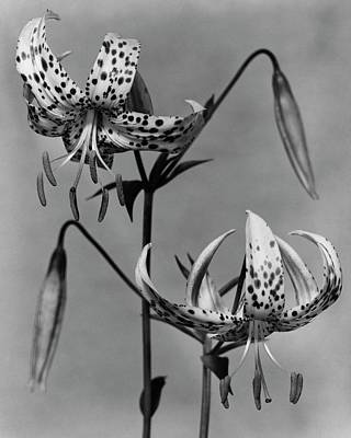 White House Photograph - Lilium Bellingham by Herman V. Wall