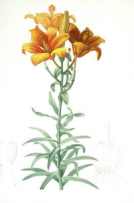 Lilium Bulbiferum Drawing - Lilium Bulbiferum, Lis Bulbiferum Lis Bulbifère Orange Lily by Artokoloro