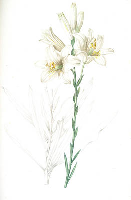 Lilium Candidum, Lis Blanc Maddona Lily Art Print by Artokoloro
