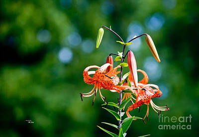 Photograph - Lilium Distichum - Lilies by Ms Judi