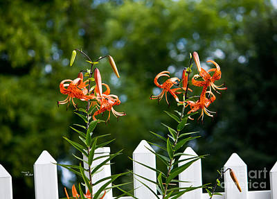 Photograph - Lilium Distichum Twins by Ms Judi