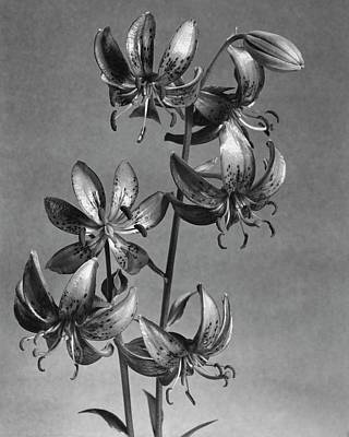 March Photograph - Lilium Hansonii by J. Horace McFarland