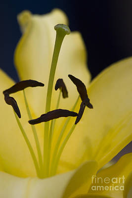 Photograph - Lilium In Yellow by Nola Lee Kelsey