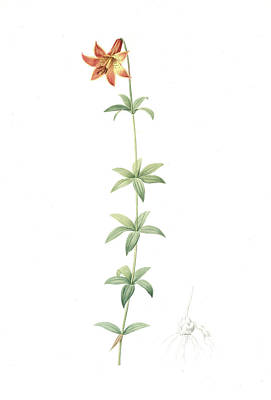 Lilium Penduliflorum, Lilium Canadense Lis à Fleur Art Print